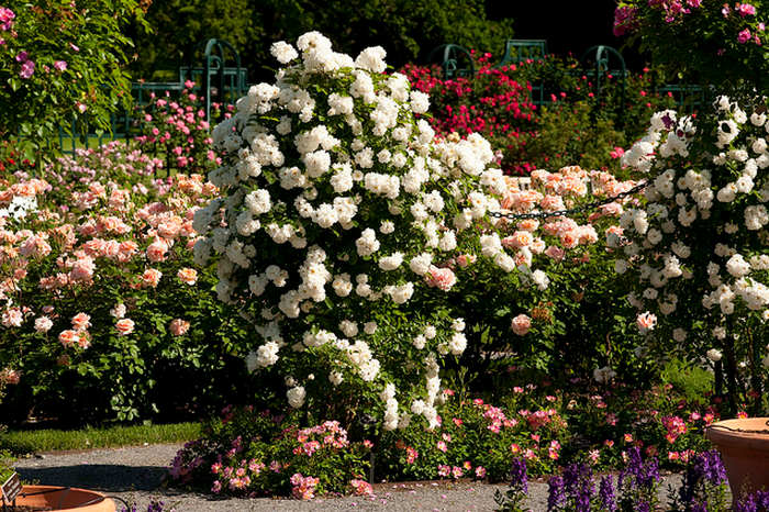 Peggy Rockefeller Rose Garden  Flickr - Photo Sharing! (700x466, 807Kb)