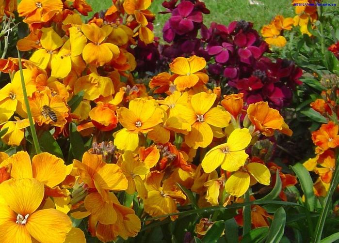 vv_flower_heiranthus_6_h_orig (700x502, 176Kb)