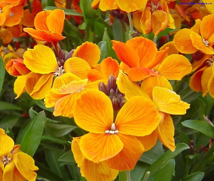 vv_flower_heiranthus_1_h_orig (700x590, 162Kb)