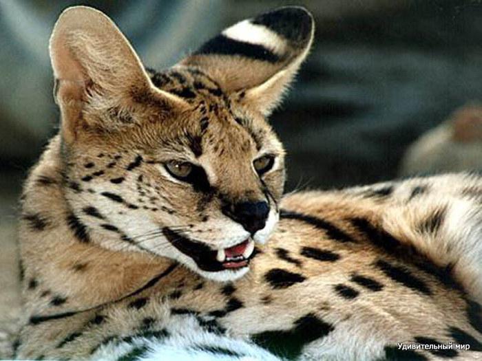 serval3 (700x525, 105Kb)
