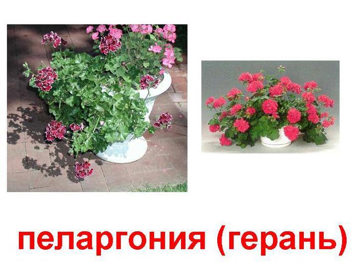 0007-007-Pelargonija-geran (700x525, 57Kb)