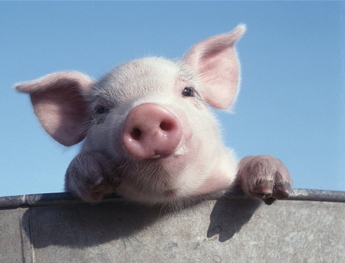 Нарисуй свинью (увлекательный тест) 77795974_3640123_88cda52428b9a8d1large