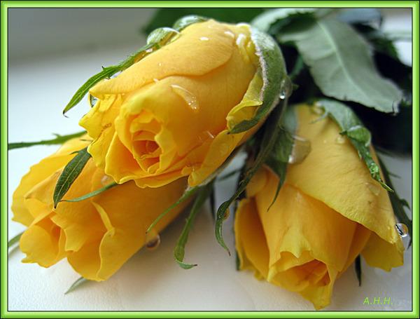 М жовті троянди квіти надії вірш