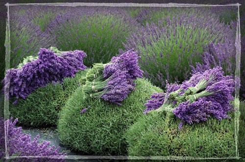 lavender-harvest (500x332, 76Kb)