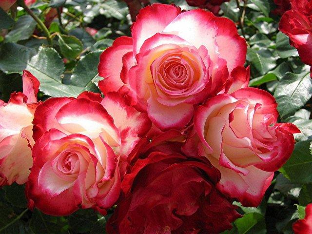 розы (640x480, 77Kb)