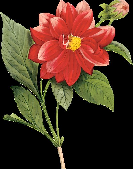 krasivyj-cvetok-clipart (548x700, 434Kb)