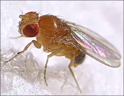 fruitfly (410x320, 136Kb)