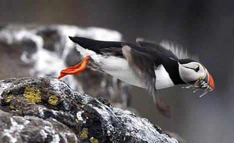 птица тупик (468x286, 43Kb)