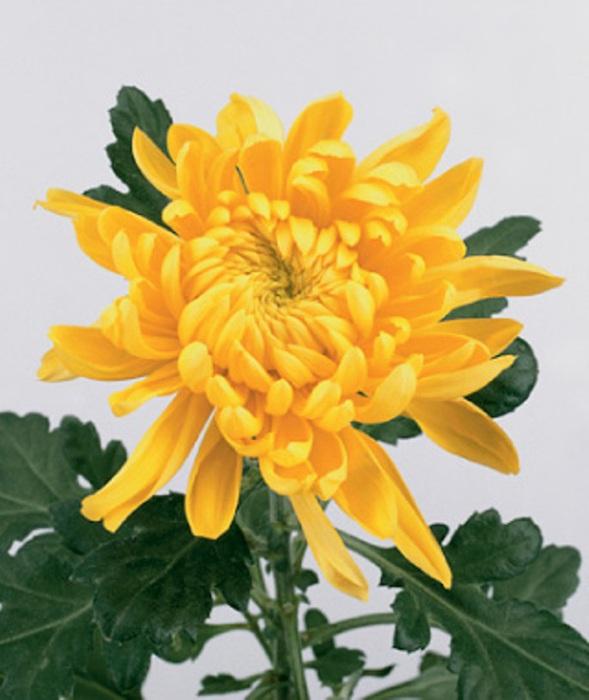 Желтая (589x700, 94Kb)