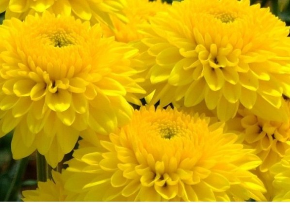 Желтые 1 (598x418, 51Kb)