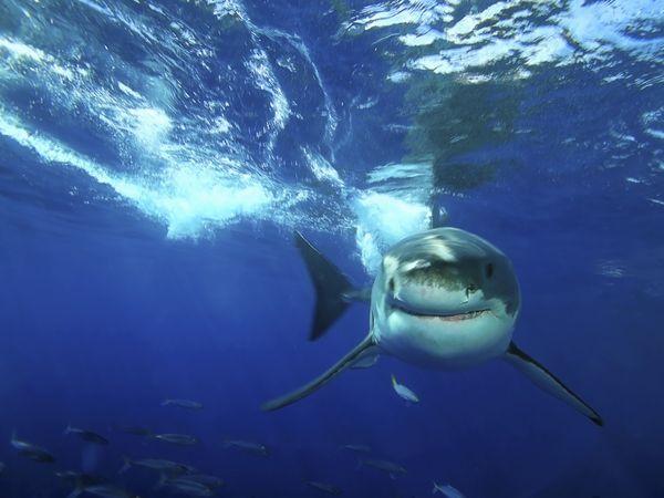 акула (600x450, 38Kb)