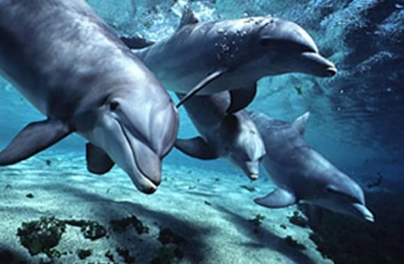dolphins-bottlenose[1] (580x379, 31Kb)