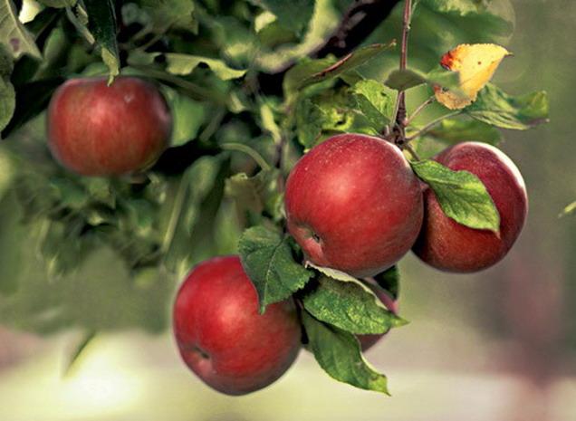 Как вырастить яблоню из семечка или ветки - Всаду ру