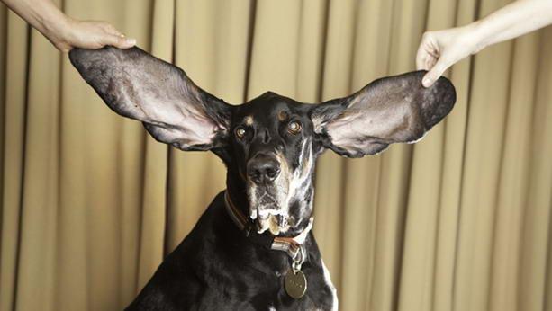 longest-ears (613x346, 34Kb)