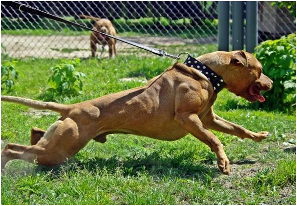 Пять самых опасных и агрессивных собак со всего мира (ФОТО) .
