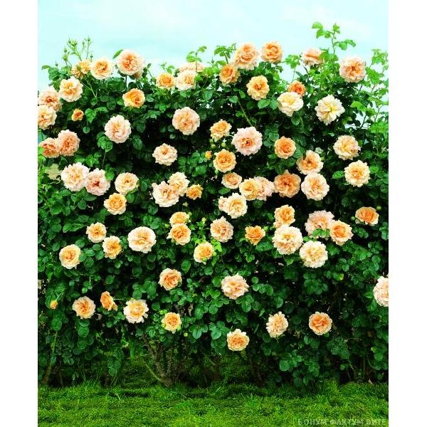 pletistaya-palitra-tsvetov-romantika-roza-polkapolka-327-B (600x600, 347Kb)