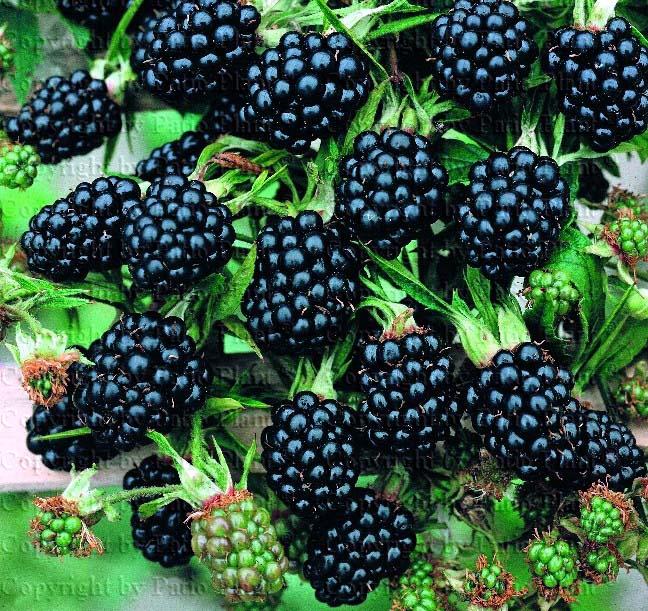 Rubus-laciniatus-Thornless-Evergreen (648x611, 145Kb)