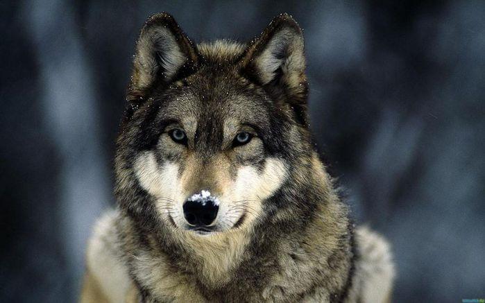 Одинокая и гордая волчица(400x300, 5Kb)