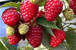 хвойное дерево с ягодами.  Купить b Саженцы/b b малины/b b в/b b Украине...