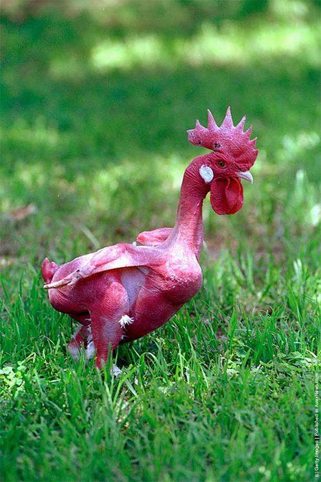 featherless_chicken2 (467x700, 77Kb)