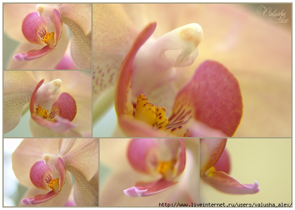 3437424_08_02_12_orchid_sm (610x434, 142Kb)