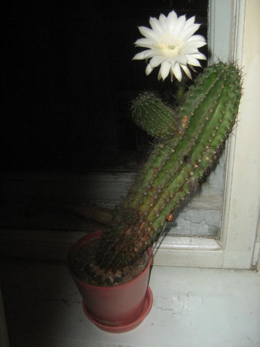 cactus. by igor goldberg/3736819_cactus (525x700, 236Kb)