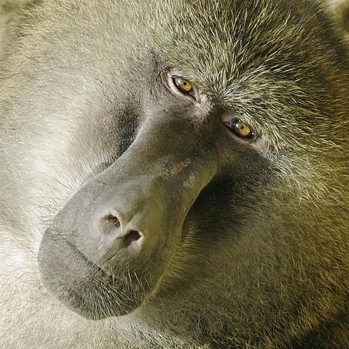 Секс обезьян бабуен
