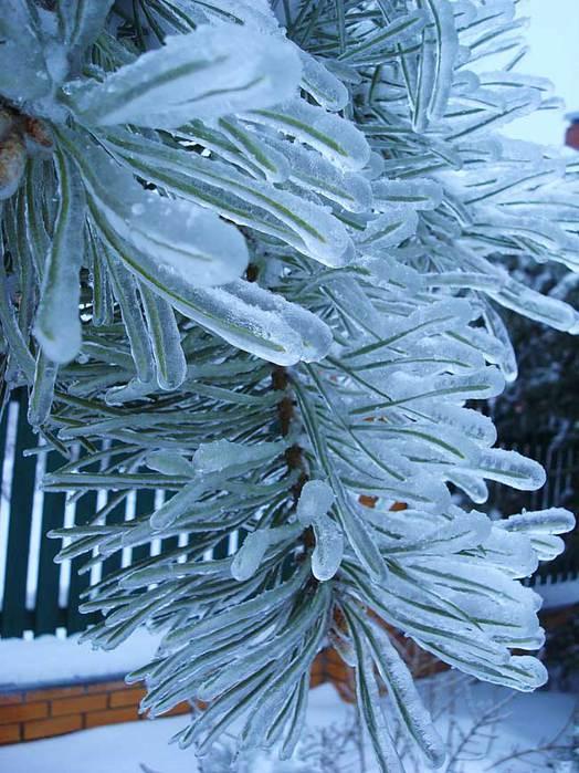 ветка во льду/4348076_ledyanoi_dojd_3 (524x700, 72Kb)