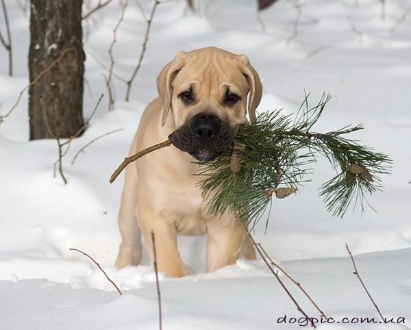 httpdogpic.com_.uashhenok-burbul-nesyot-sosnovuyu-vetku-600x482 (600x482, 63Kb)