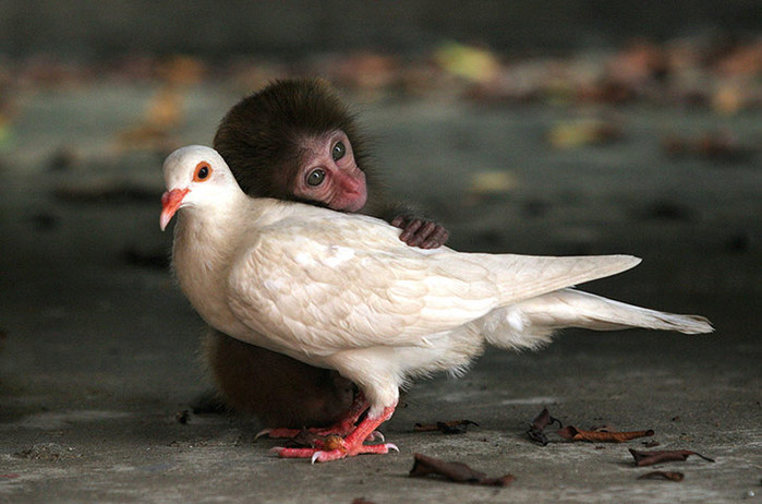 The-macaque-and-the-dove-002 (700x462, 77Kb)