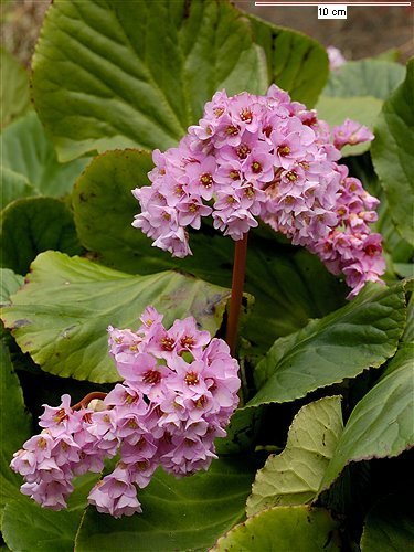 bergenia-crassifolia (375x500, 54Kb)