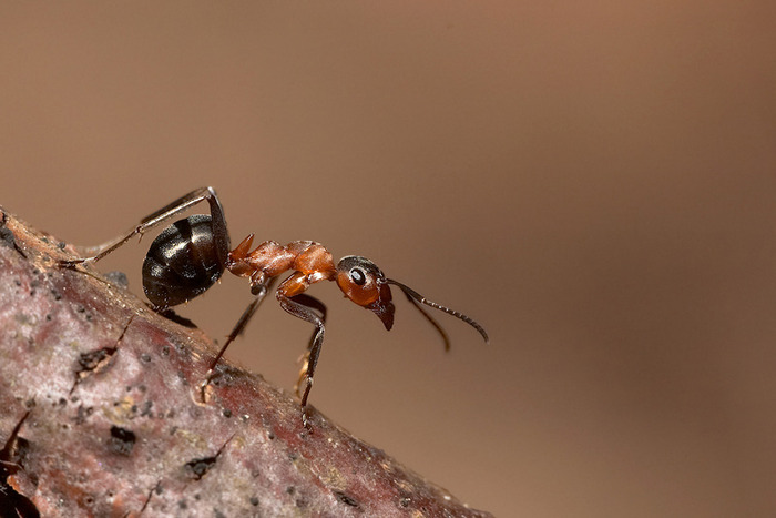 интересные факты о насекомых/1328891675_muravey (700x467, 70Kb)