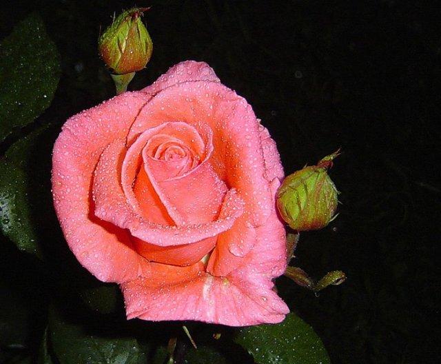 Роза нежная (640x528, 63Kb)