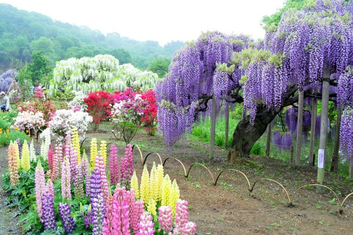 3-Kawachi Fuji Garden (700x466, 147Kb)