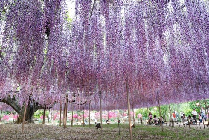 5-Kawachi Fuji Garden (700x467, 136Kb)