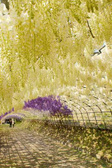 7-Kawachi Fuji Garden (466x700, 53Kb)
