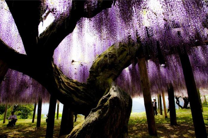 13-Kawachi Fuji Garden (700x466, 144Kb)