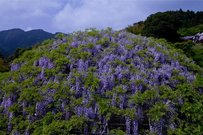 23-Kawachi Fuji Garden (700x466, 155Kb)