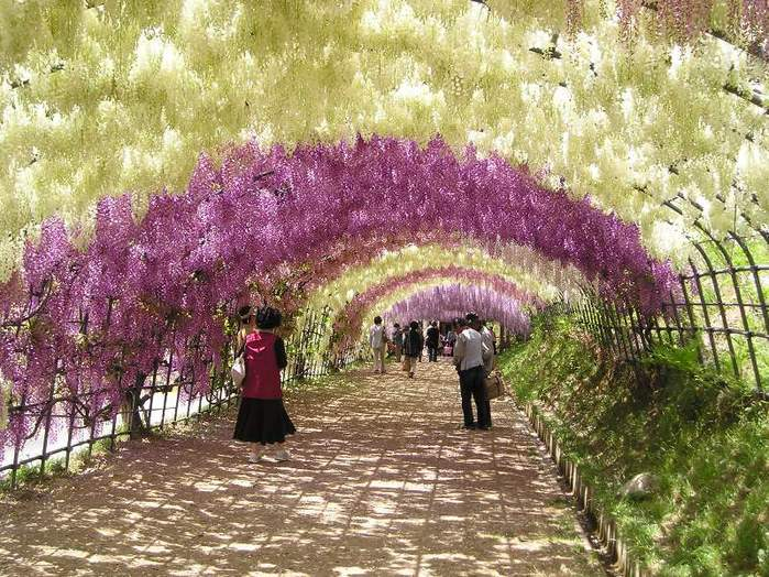 25-Wisteria Tunnel (700x524, 102Kb)