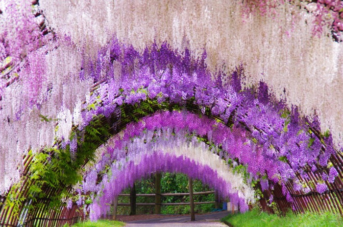28-Wisteria Tunnel (700x464, 184Kb)