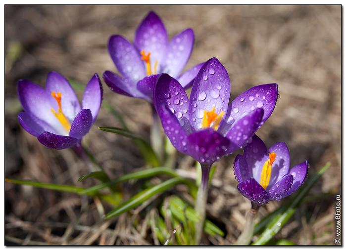 Для оформления садов и других ландшафтов известно два основных вида крокусов: цветущих весной или осенью.