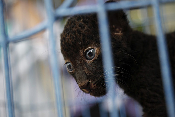 A-two-month-old-leopard-c-003 (700x466, 57Kb)