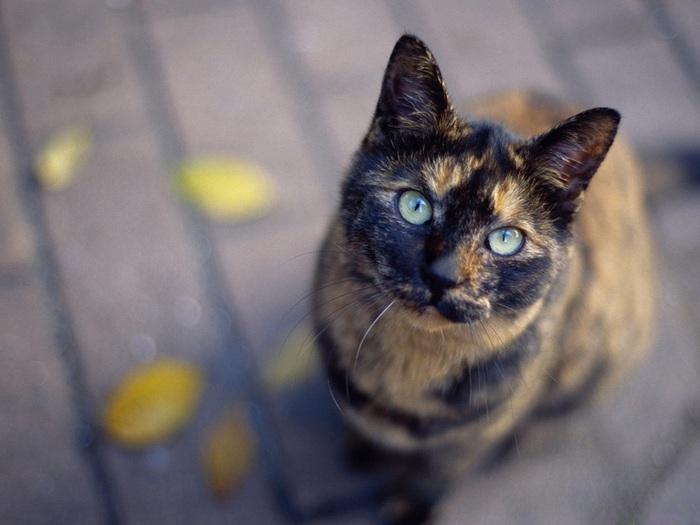 кошка (700x525, 85Kb)