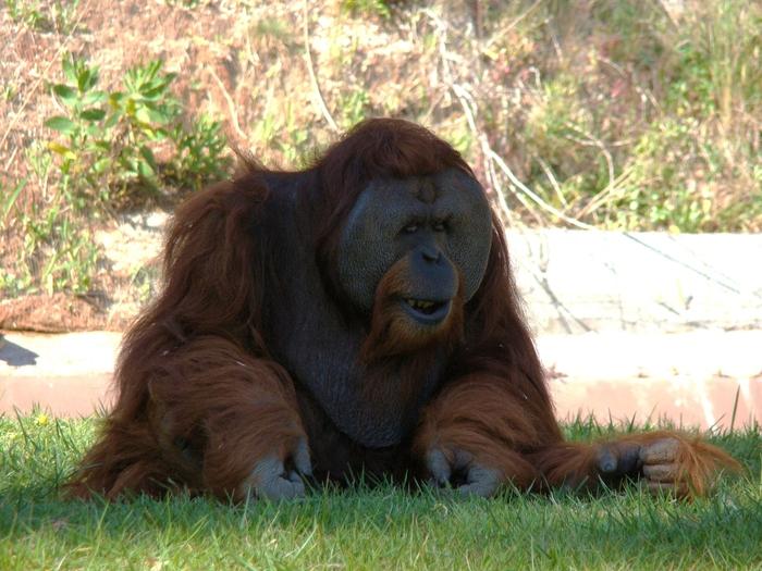 обезьяны в лиссабонском зоопарке Ольга Максимова (3) (700x525, 324Kb)