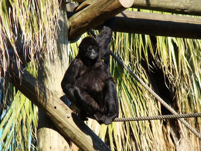 macaco aranha olga maksimova (5) (700x525, 373Kb)