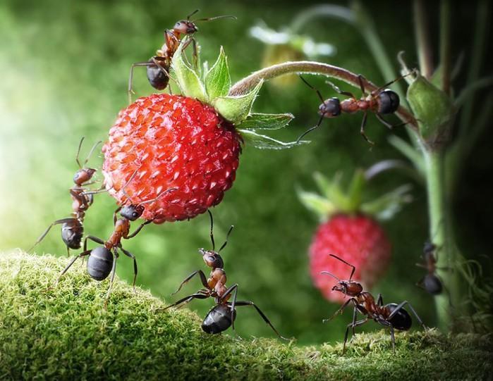 муравьи4 (700x541, 105Kb)