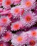 ������ Pink (560x700, 138Kb)