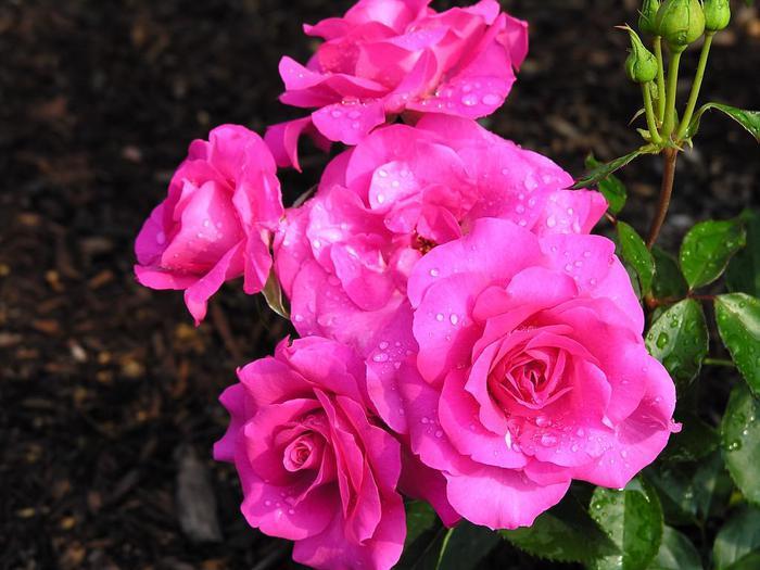 rose-533-20 (700x525, 55Kb)