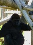 Превью обезьяны в лиссабонском зоопарке (7) (525x700, 261Kb)