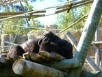 Превью обезьяны в лиссабонском зоопарке (9) (700x525, 338Kb)